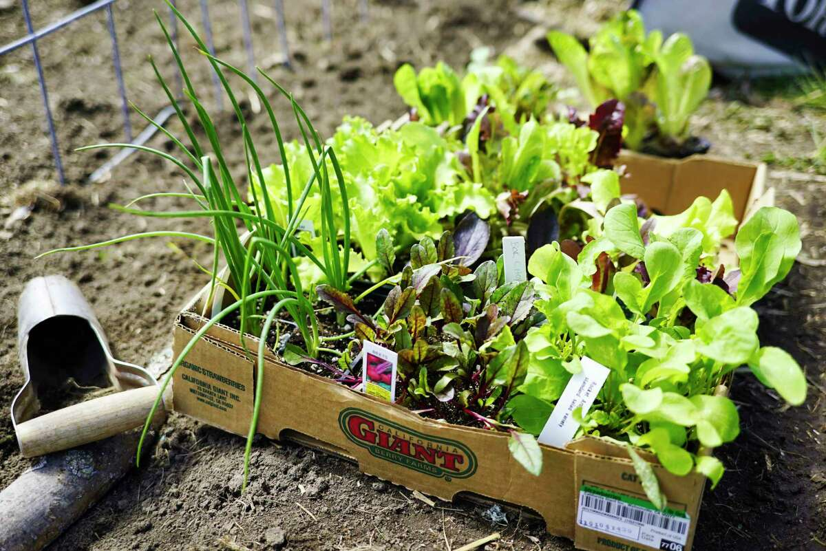 Seedlings that Jes Marcy purchased are seen in her garden on Thursday, April 23, 2020, in Poestenkill, N.Y. Purchasing seedlings allows a gardener to get a jump on getting plants into the ground. (Paul Buckowski/Times Union)