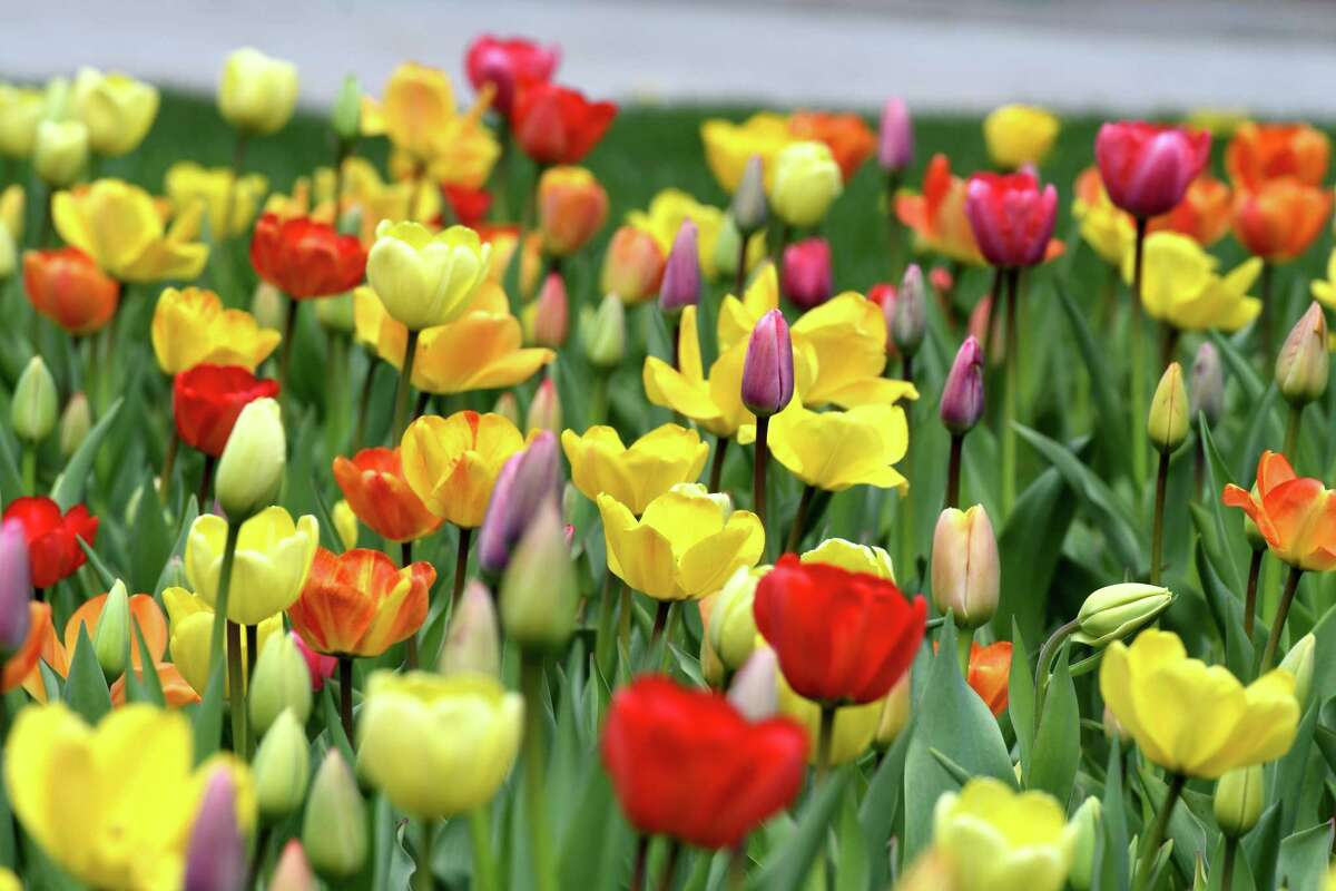 FILE. Letter writer says, 'Modern Tulip Festival in Albany began in 1972.' (Will Waldron/Times Union)