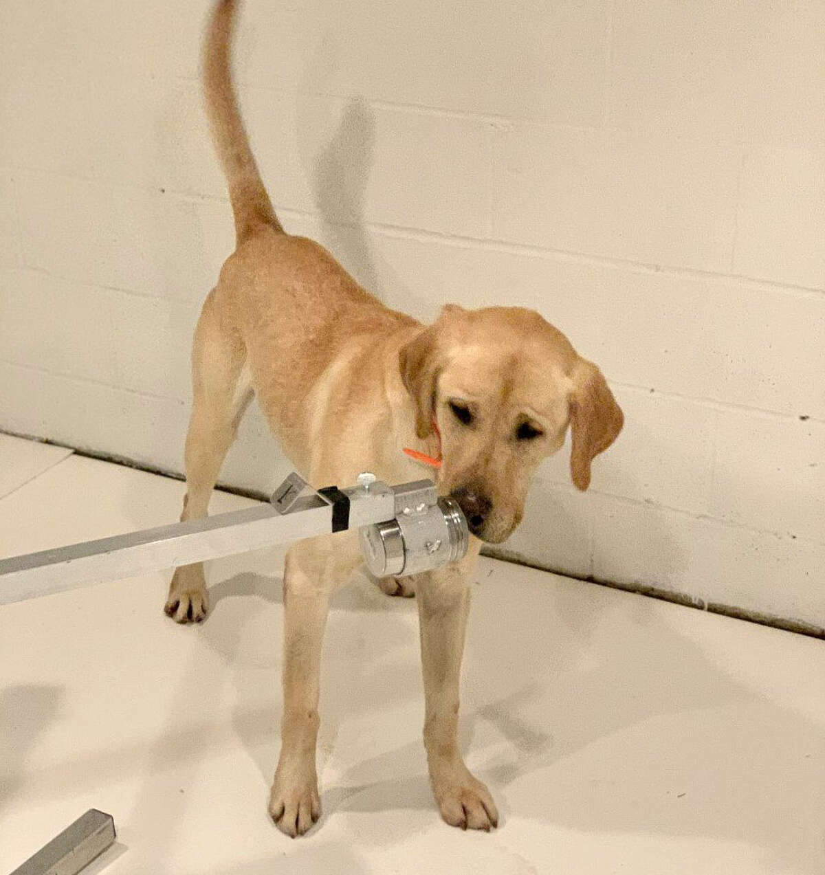 Poncho, a yellow Labrador retriever, is training to detect the scent of the coronavirus as part of a University of Pennsylvania study. (