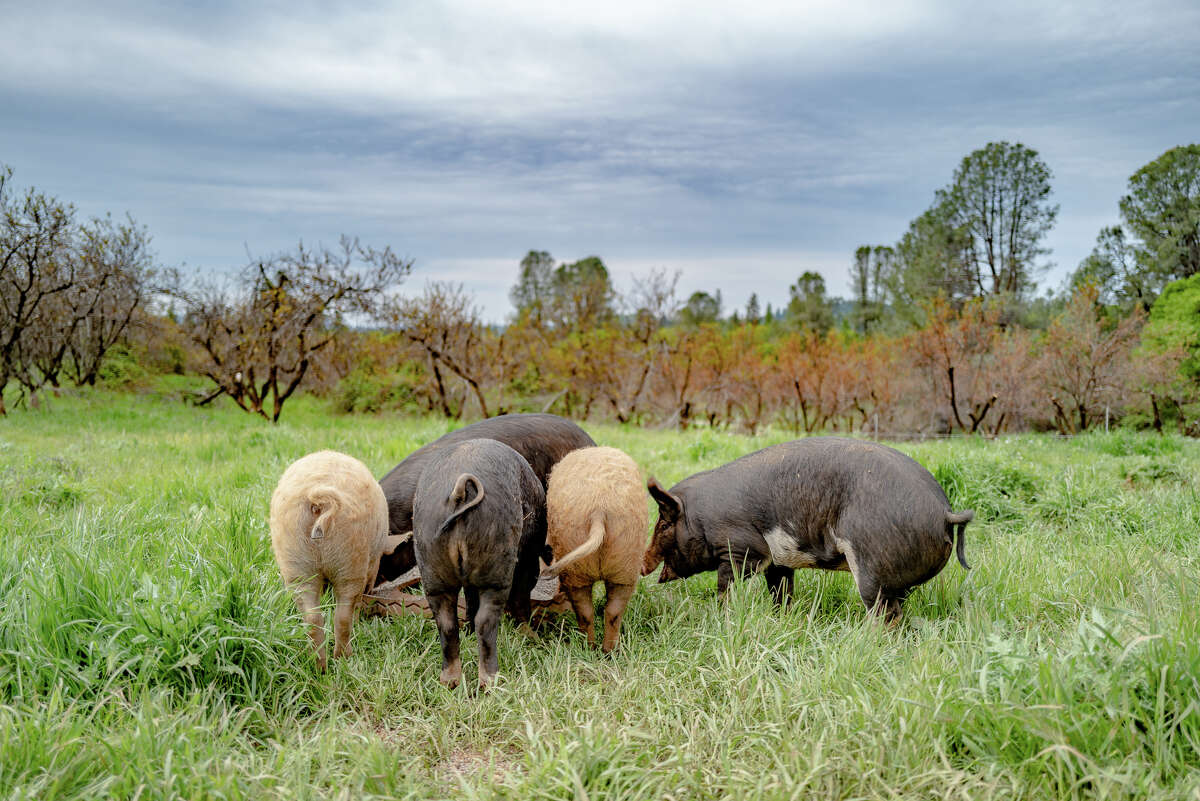 As for their American Mulefoot, Mangalitsa and Hereford hogs, a large part of their