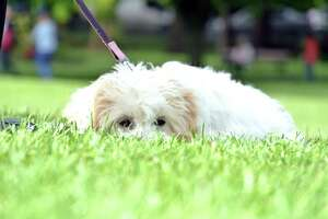 Be careful not to too quickly boost your dog's walking schedule. Just like humans, they need to acclimate and get in shape slowly, too.