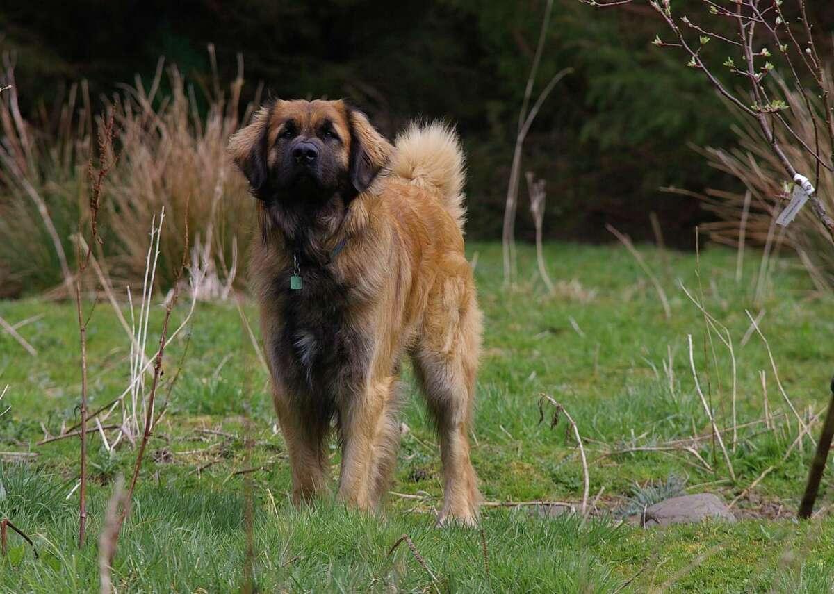 #95. Leonberger - 2019 registration rank: #95 highest of 193 breeds - Change in rank from previous year: -2 in popularity Literally bred to be owned by royals Leonbergers are regal animals. Some of their most famous owners include King Edward VII Napoleon III and Tsar Alexander II.