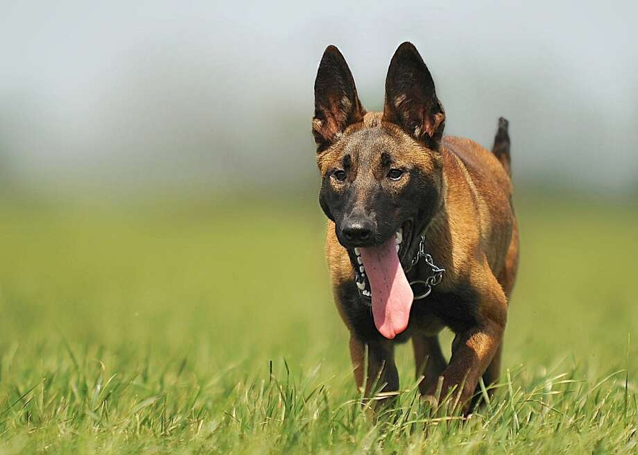 "Roux, a 3-year-old Belgian Malinois, not pictured, woke her owner Jeff LeCates with ""frantic and unusual barks"" on Saturday night, a Franklin Fire Department press release said. Photo: Pexels"