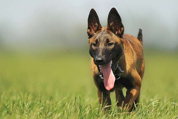 "#41. Belgian Malinois - 2019 registration rank: #41 highest of 193 breeds - Change in rank from previous year: +2 in popularity Most commonly associated with police work, the Belgian malinois is known for its exceptional tracking abilities. These dogs can detect odors, hunt down suspects, and find injured persons in search and rescue missions better than most other breeds. Because of this, these dogs are used by the U.S. Secret Service to guard the White House grounds. The breed's popularity rose after one appeared in the 2015 family film ""Max,"" but it is important to remember that these dogs require plenty of stimulation and exercise or they may develop destructive and neurotic behaviors. This slideshow was first published on Stacker"