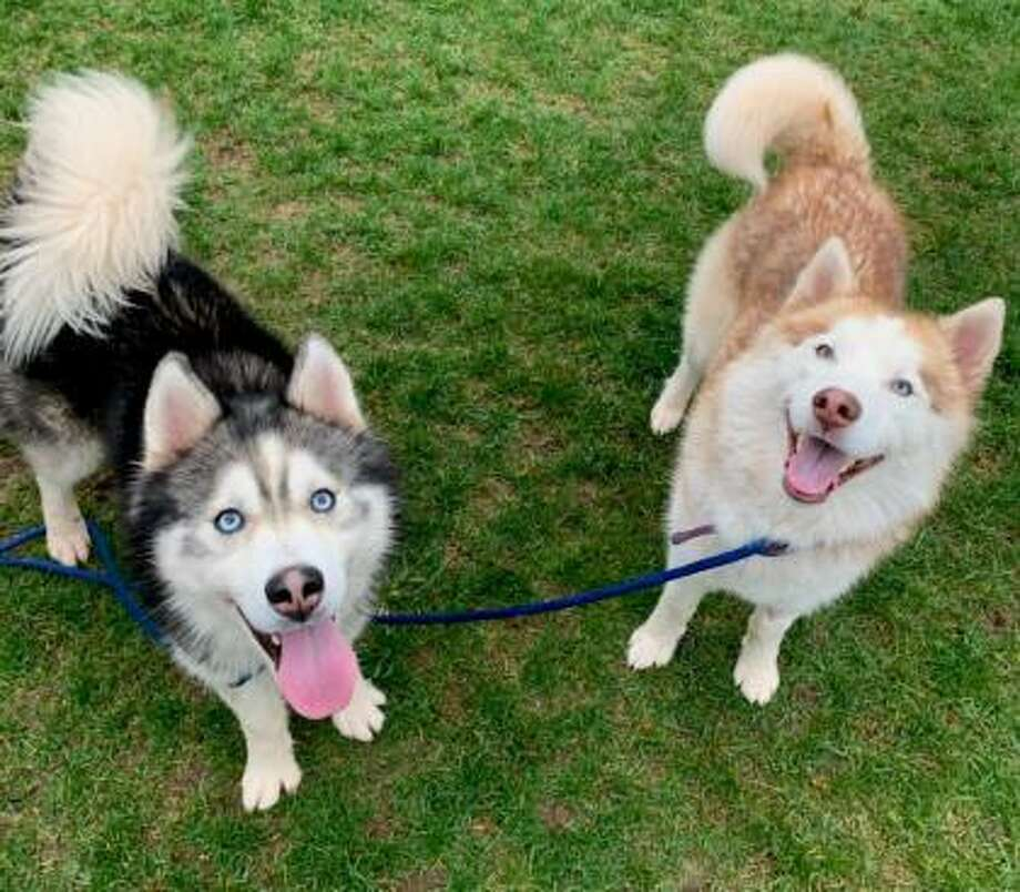 Amos and Alice, a bonded pair of 4-year-old Siberian Husky mixes can live in a single family home only. They would love to live with an active family with kids over 12 and a family that has experience with large dogs. Amos and Alice have not had much experience with other dogs but they are willing to consider sharing their home with a large dog, pending an interaction. This pair does require a cat-free home. Lots of daily exercise and a family with Husky experience is a must. They're waiting at the CT Humane Society's Newington shelter. Remember, the Connecticut Humane Society has no time limits for adoption. Inquiries for adoption should be made by visiting www.cthumane.org/adopt, where you can fill out an application and contact the staff. Photo: Contributed Photo