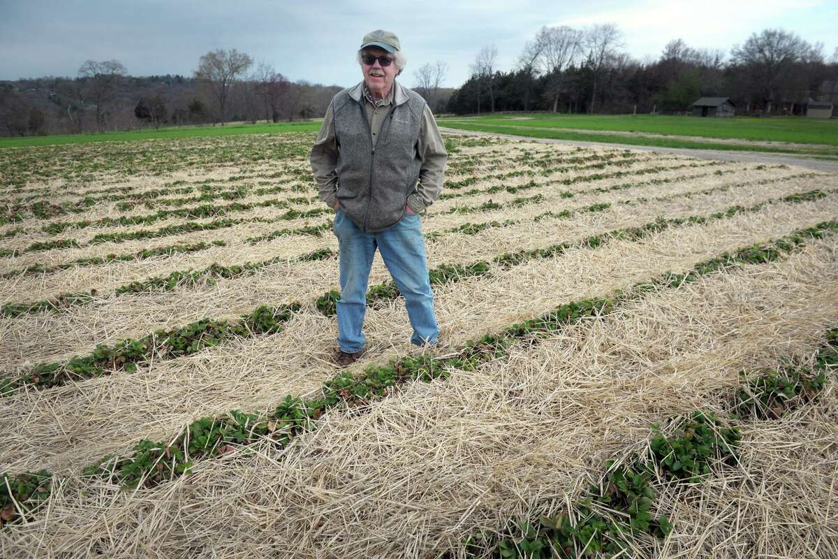 Terry Jones, owner of Jones Family Farms, stands in one of his strawberry fields in Shelton, Conn. April 29, 2020. Jones Farms is currently evaluating the safest way to conduct their pick-your-berry business this summer. Strawberries should be ready for picking around Memorial Day.