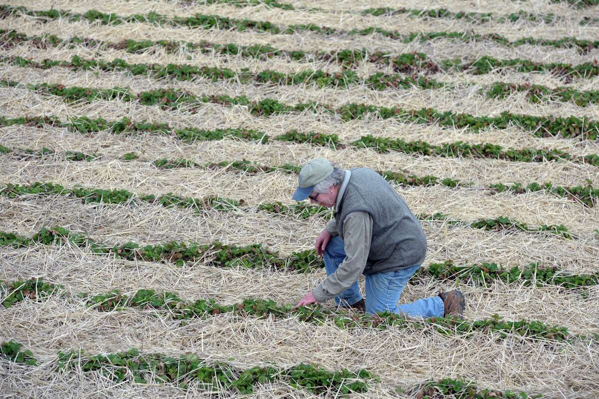 Terry Jones, owner of Jones Family Farms, inspects plants in one of his strawberry fields in Shelton, Conn. April 29, 2020. Jones Farms is currently evaluating the safest way to conduct their pick-your-berry business this summer. Strawberries should be ready for picking around Memorial Day.