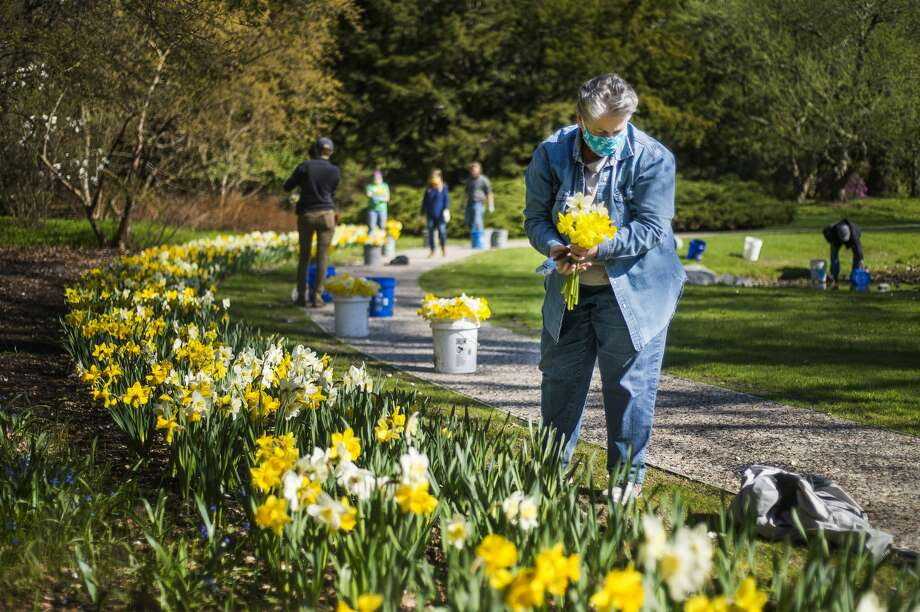 Deana Beckham harvests daffodils as Dow Gardens staff prepare to donate approximately 500 of the flowers to first responders and other workers at MidMichigan Medical Center-Midland Friday, May 1, 2020. (Katy Kildee/kkildee@mdn.net) Photo: (Katy Kildee/kkildee@mdn.net)