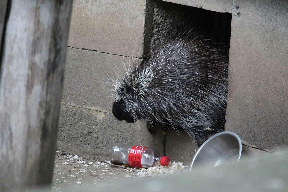 Pickles the porcupine at Bridgeport's Beardsley Zoo, circa 2017.