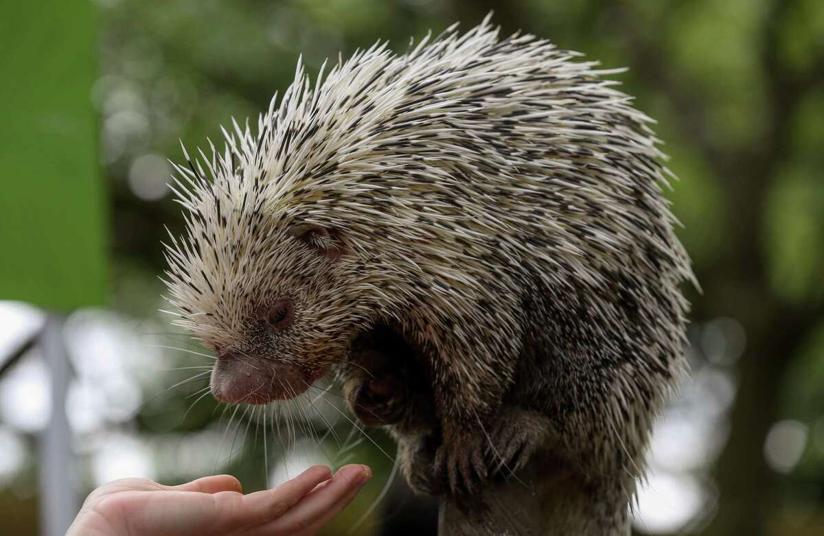 Norman, a prehensile tailed porcupine, at the Houston Zoo in 2018.