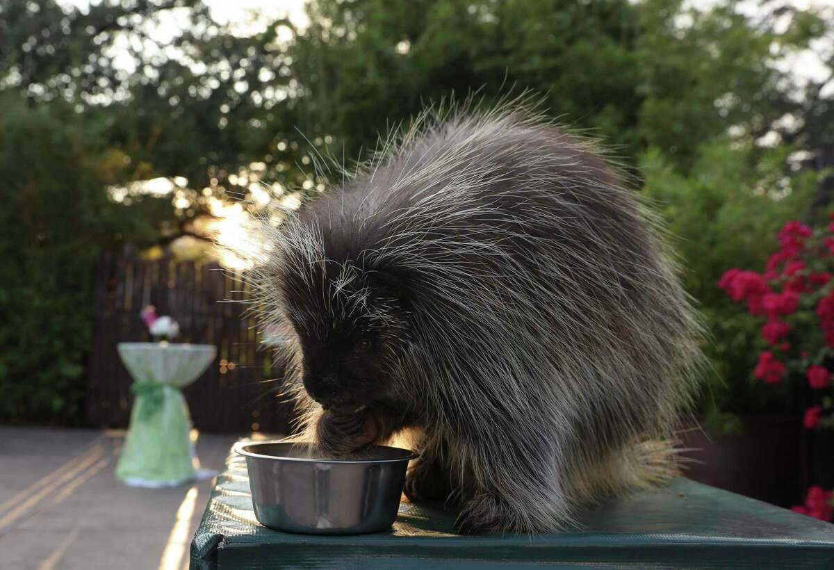 Ten-year-old Ernie, a North American porcupine, greets guests at a Houston Zoo Gala in 2017.