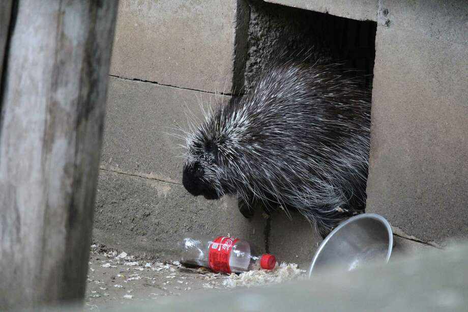Pickles the porcupine at Bridgeport's Beardsley Zoo, circa 2017. Photo: Chris Marquette / Hearst Connecticut Media / Westport News