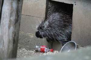 Pickles the porcupine at Bridgeport's Beardsley Zoo, circa 2017.
