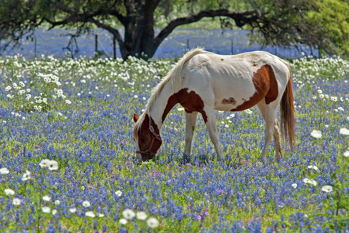 Bluebonnet season may be the best time of year.