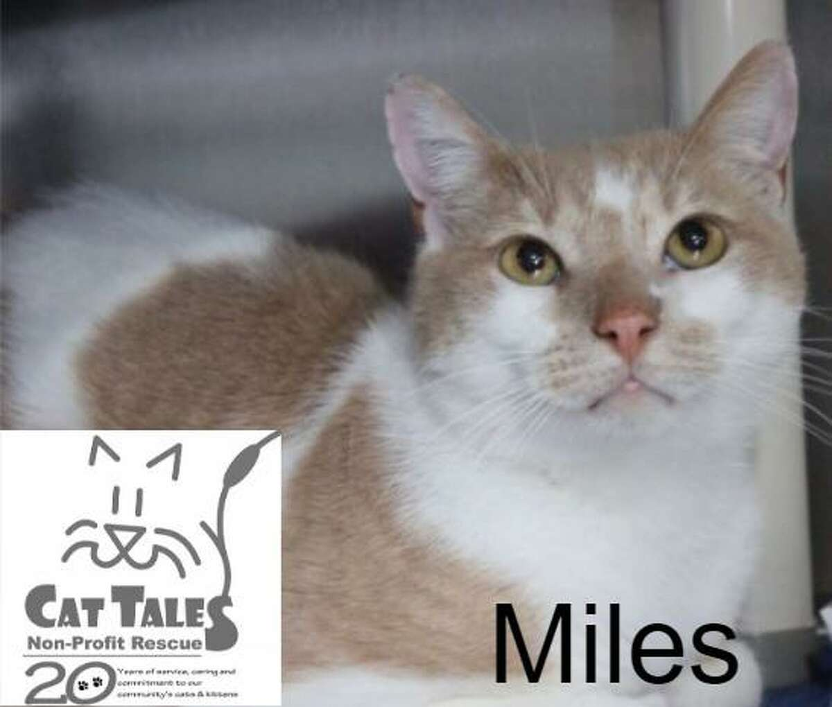 Miles is a four-year-old buff and white male kitty. He says,