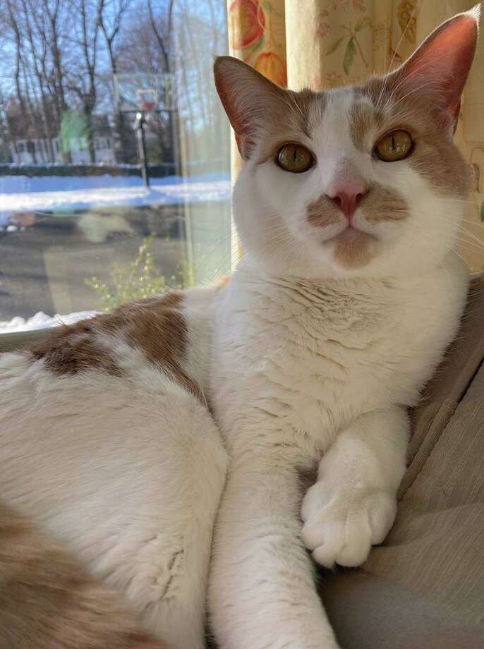A cat named Tigger has been missing from the East side of New Canaan in its Hoyt Farm, and Silvermine area over the past few days, according to a post on the New Canaan Advertiser's Facebook page on Friday, May 1, 2020. Photo: Contributed Photo