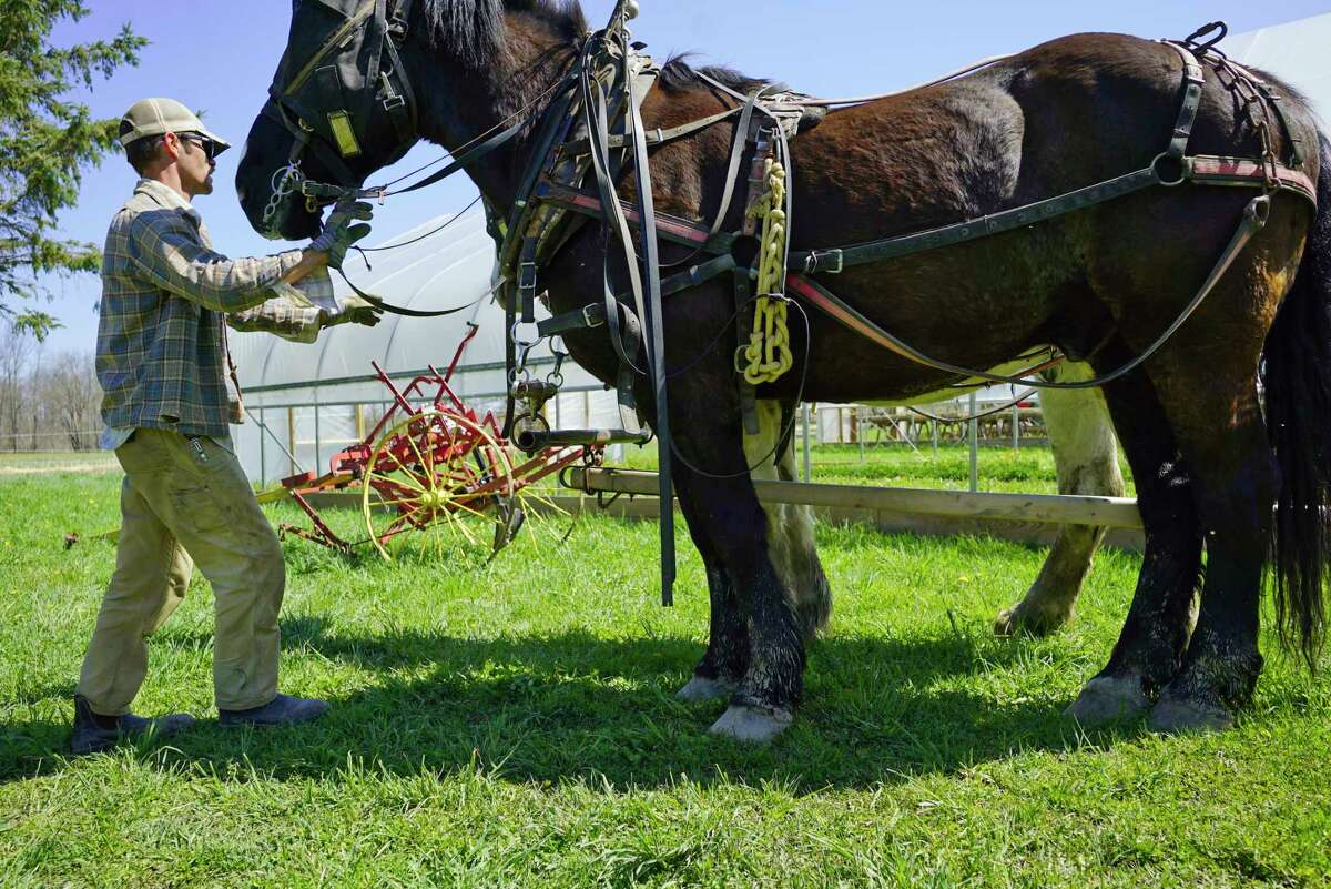 Tim Biello gets his two Percheron draft horses, Bear and Duke, hooked up to work in a field at Featherbed Lane Farm on Sunday, May 3, 2020, in Ballston Spa, N.Y. (Paul Buckowski/Times Union)