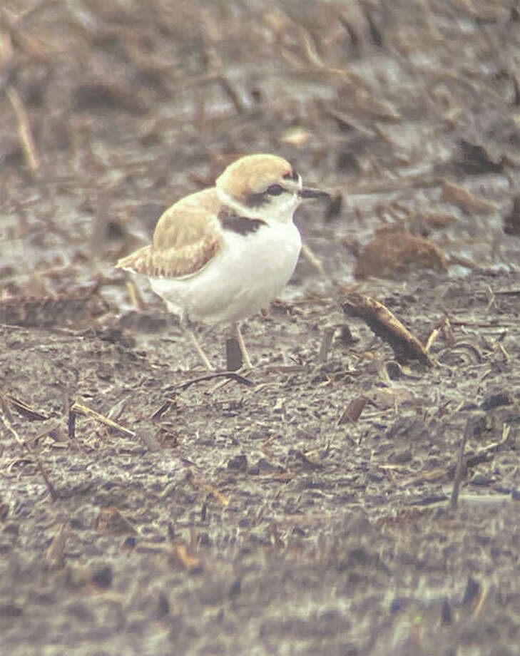 A snowy plover was spotted Monday near Woodson. The shorebird is extremely rare in Illinois, with some estimating that it has been spotted fewer than 15 times. Colin Dobson, 19, of Jacksonville saw the bird and reported it. Photo: Colin Dobson