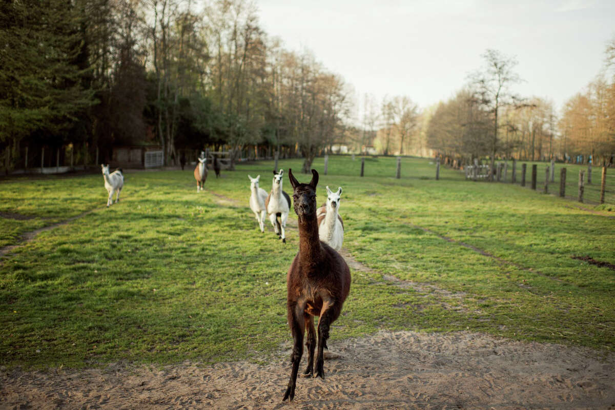 Antibodies produced by Winter, a 4-year-old llama in Belgium, could help lead to a remedy for the novel coronavirus.