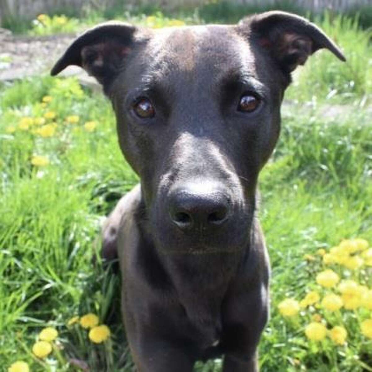 Zoro is a 1-year-old male shepherd mix.