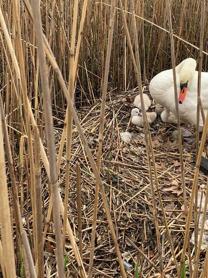Lucia Zachowski of the Friends of Gorham's Pond is able to enjoy what is likely the same pair of swans nurture their babies, called signets, every year. Photo: Lucia Zachowski