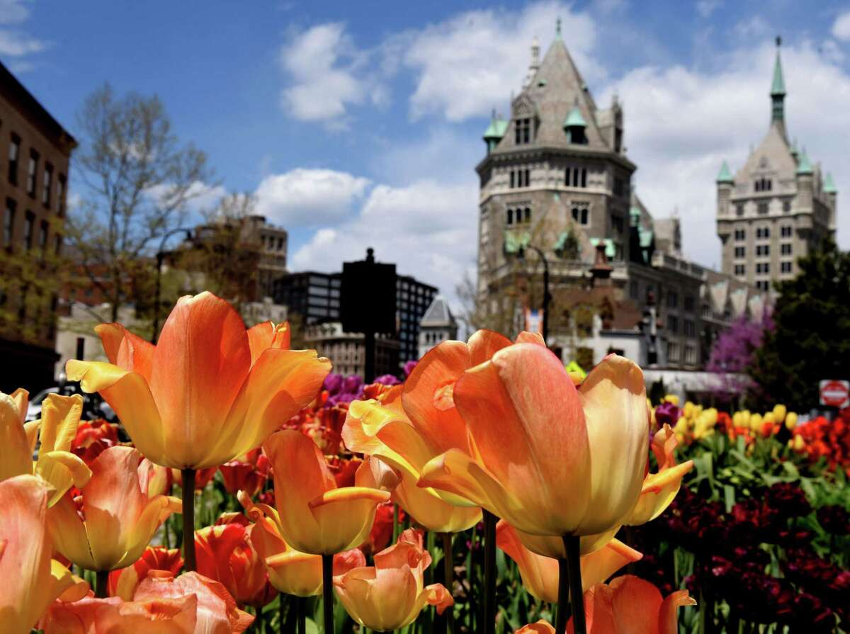 Vibrantly colored tulips are pictured with SUNY Plaza, as the two Albany icons converge on Thursday, May, 7, 2020, on Broadway in Albany, N.Y. (Will Waldron/Times Union)