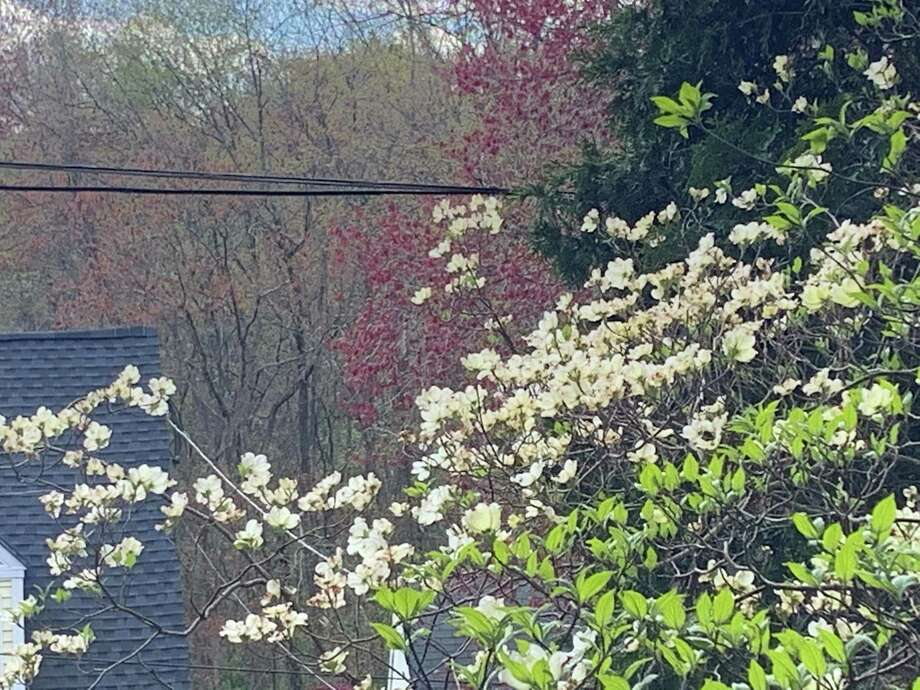 The white cups of the dogwood open in the front yard. Photo: Jacqueline Smith / Hearst Connecticut Media