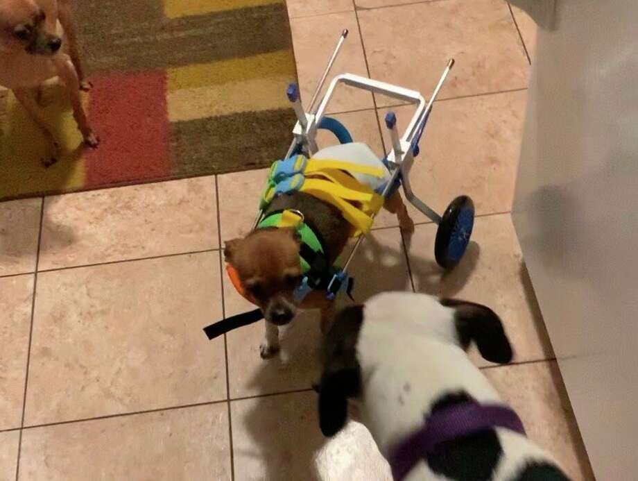 Lt. Taco in his wheelchair during recovery. (Photo provided)