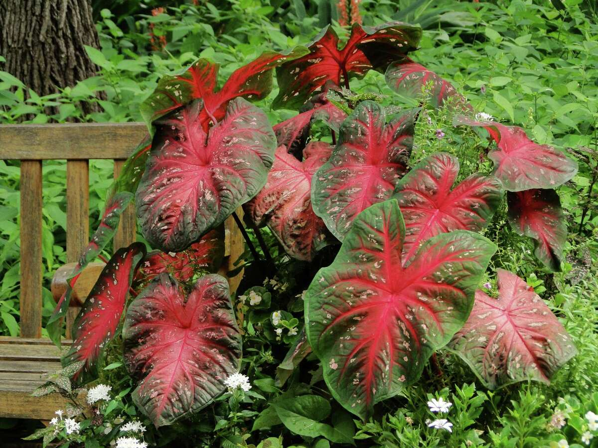 Caladiums (Caladium spp.) will grow in sun or shade, beds or containers. Just choose the right variety for your site.