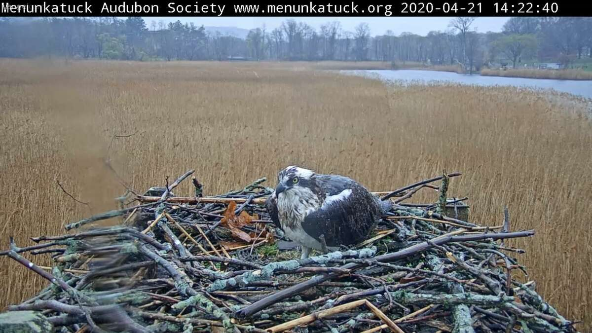 An osprey looks chilly sitting in the rain on its nest April 21 at the West River Memorial Park osprey camera.