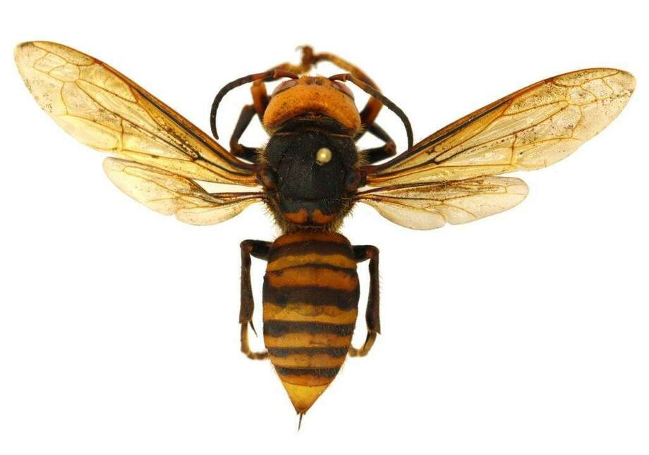 The Asian giant hornet - distinctive yellow-orange head and heavier body than our largest native wasps. Photo: Courtesy Photo