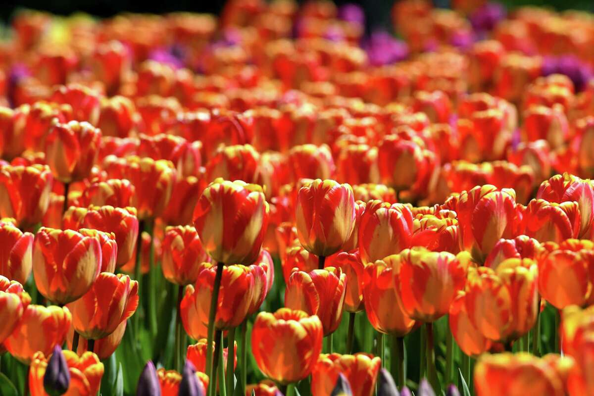 Washington Park tulips put on a dazzling show of rich color on Friday, May, 8, 2020, in Albany, N.Y. (Will Waldron/Times Union)