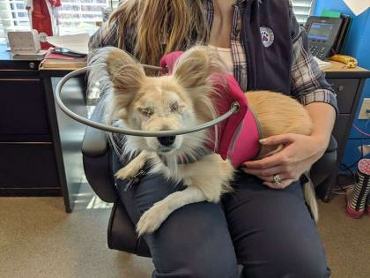 This is Zoey, a 6-year-old Pomeranian/short coat Chihuahua mix. Zoey does have some special needs but still has lots of life to live and love to give. Ask the adoption counselor to explain when you call to arrange your visit. Zoey is blind and navigates well with the use of her halo and instincts. Zoey can live in a single family home; condos considered. She wants to live with adults and she prefers to be the only pet so she can get all the attention. Zoey is a relaxed kind of dog who will appreciate lots of time to sleep and lay around by your side. She loves her people and wishes to be with them as often as possible. Remember, the Connecticut Humane Society has no time limits for adoption. Inquiries for adoption should be made by visiting www.cthumane.org/adopt