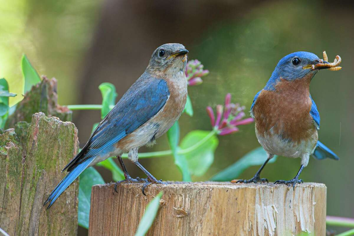 Mother birds, like this eastern bluebird, work hard to feed their nestlings. Male eastern bluebirds help to feed the young.