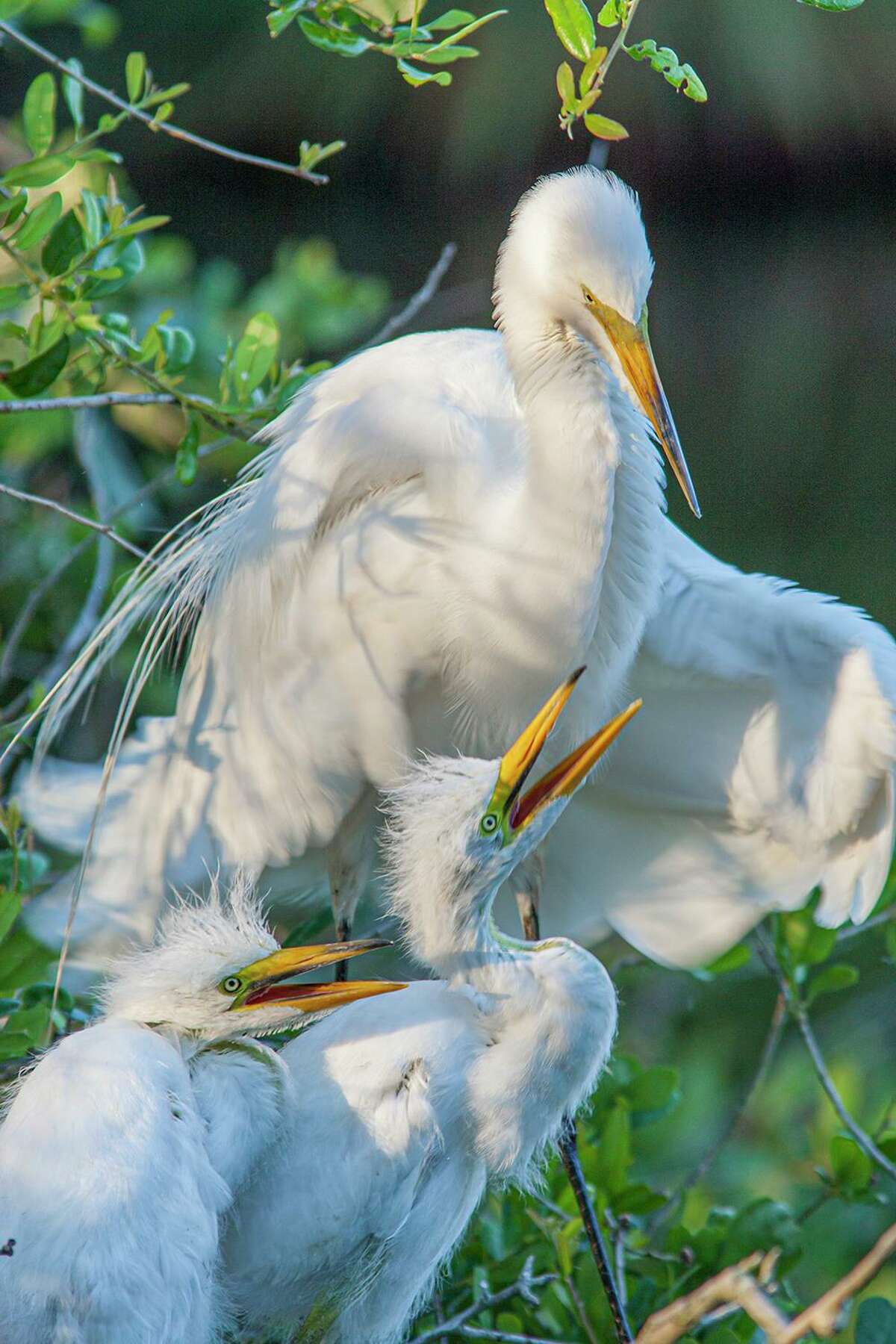 Female birds, like this great egret, work hard spring through summer to raise their young. Photo Credit: Kathy Adams Clark Restricted use.