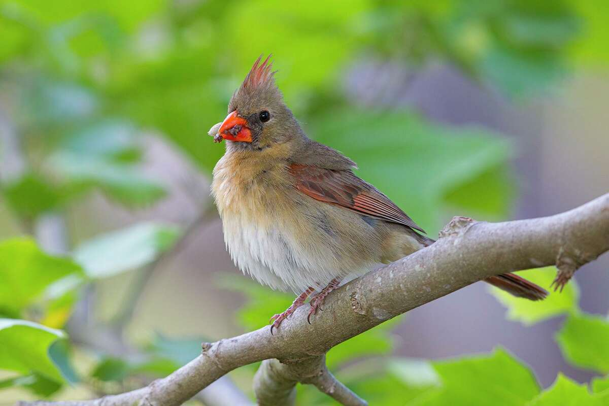 Mother songbirds, like this northern cardinal with a beak full of food, are working hard to feed their nestlings.
