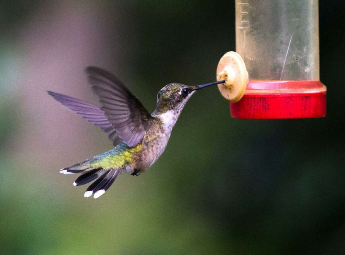 A hummingbird feeds from nectar at Al Foster's backyard on Monday, Aug. 19, 2019 in Summerville, S.C.