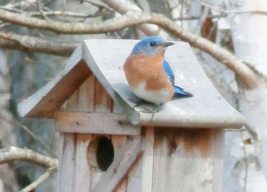 An eastern bluebird.(McLean Nature Preserve)
