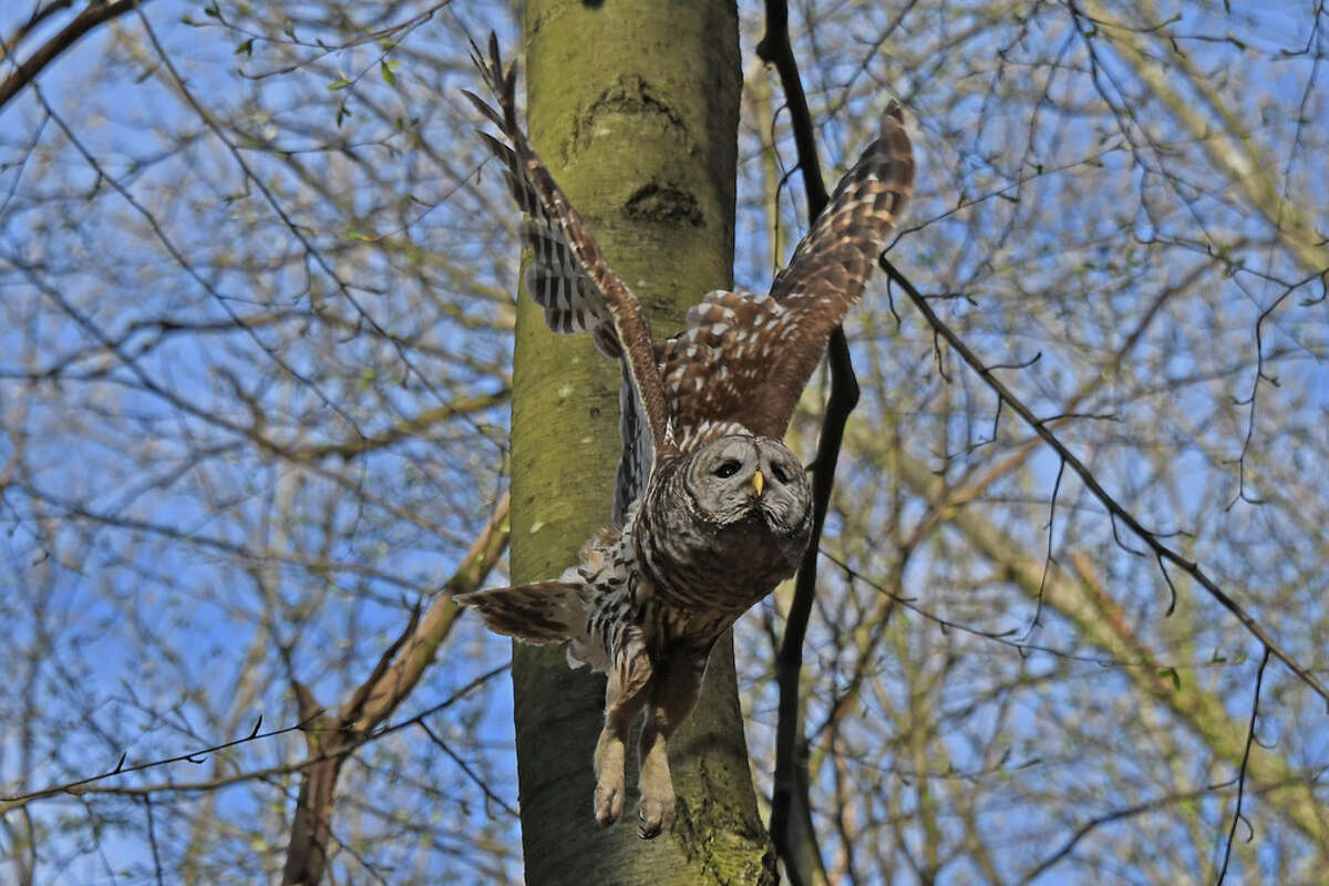 An adult owl soars through KInns Road Park near the nest on May 4, 2020. The female owl is bigger than the male and also has a patch of bare skin on her stomach for keeping the eggs warm. (Joyce Bassett / Times Union)