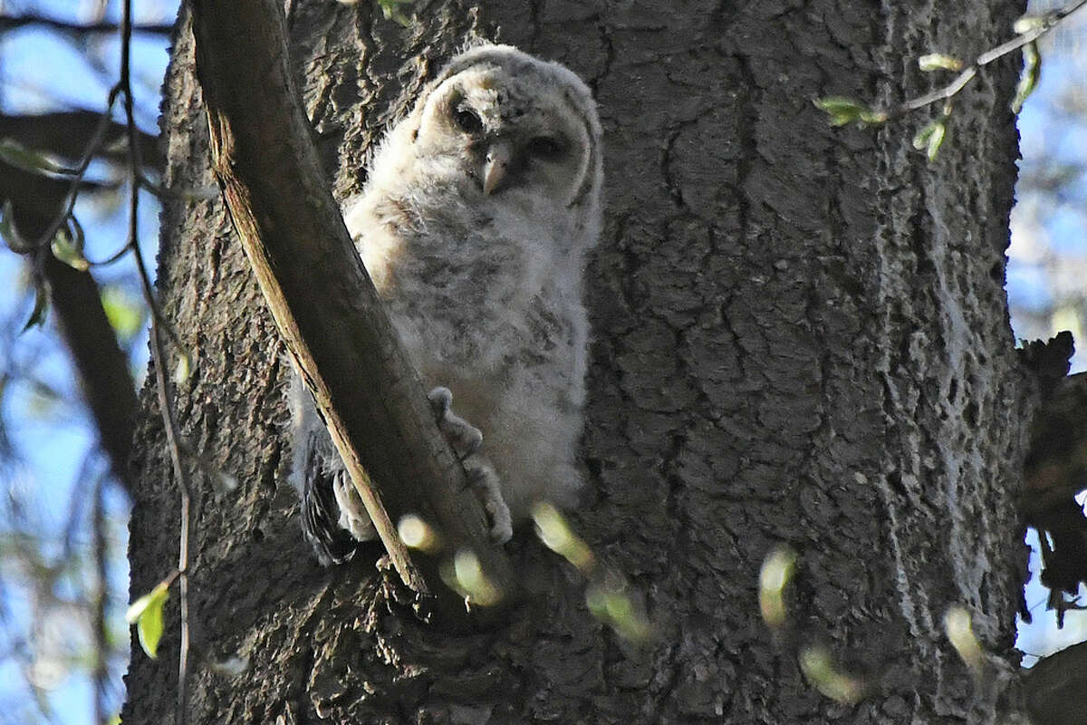 An owlet sits on a branch of a pine near the owl's nest in Kinns Road Park in Clfton Park on May 8, 2020. (Joyce Bassett / Special to the Times Union)