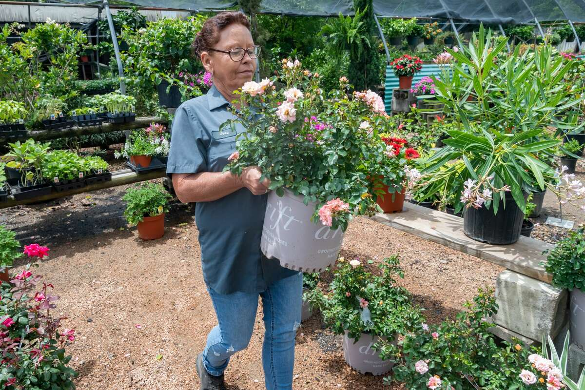 Beaumont Greenery manager Jinny Segeada carries a blooming drift rose plant to put on display. Most of the plants and baskets they put out for Mothers Day had sold by noon since people are dealing with the separation from their mothers because of the pandemic. Photo made on May 9, 2020. Fran Ruchalski/The Enterprise