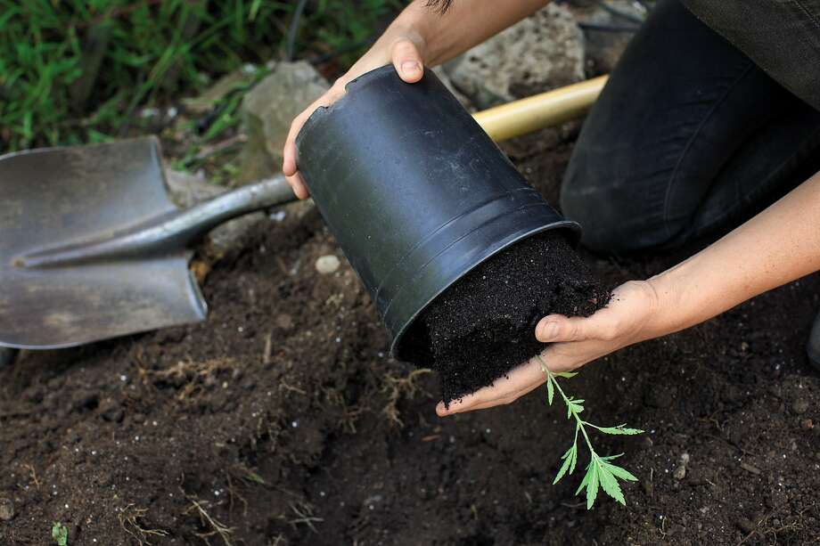 Taking a seedling pot plant out of its container. Photo: Rachel Weill / Abrams