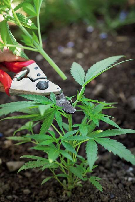 """Johanna Silver, author of """"Growing Weed in the Garden,"""" prunes a pot plant. Photo: Rachel Weill / Abrams"""