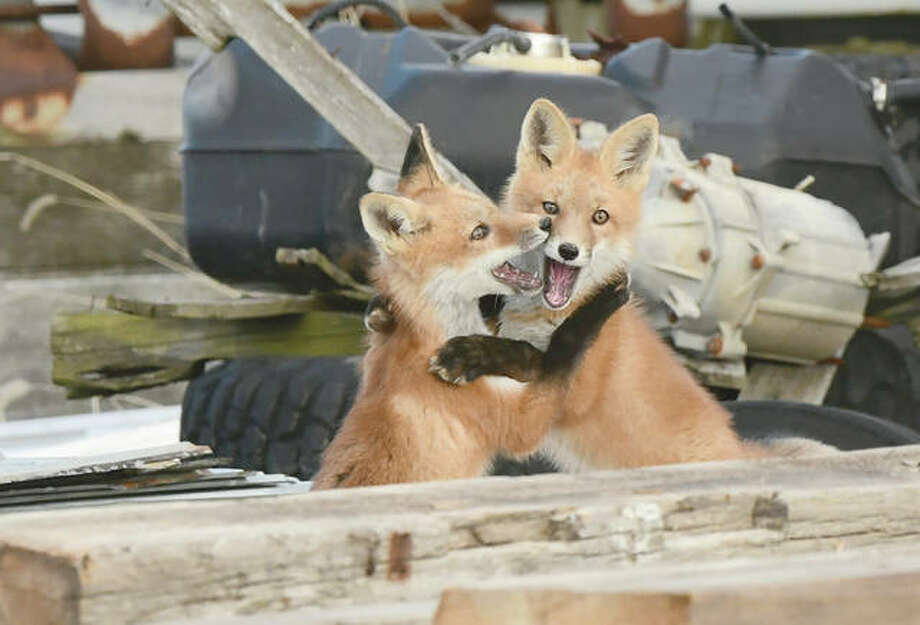 Reader Kathy Caruthers snapped this image of two fox kits embracing. This is the second year a fox has given birth in a barn full of old lumber near Waverly. There were five kits last year and Caruthers said she has seen three this year. She thinks these are about a quarter grown; their mother hunts and brings dinner to them. Photo: Kathy Caruthers | For The Journal-Courier