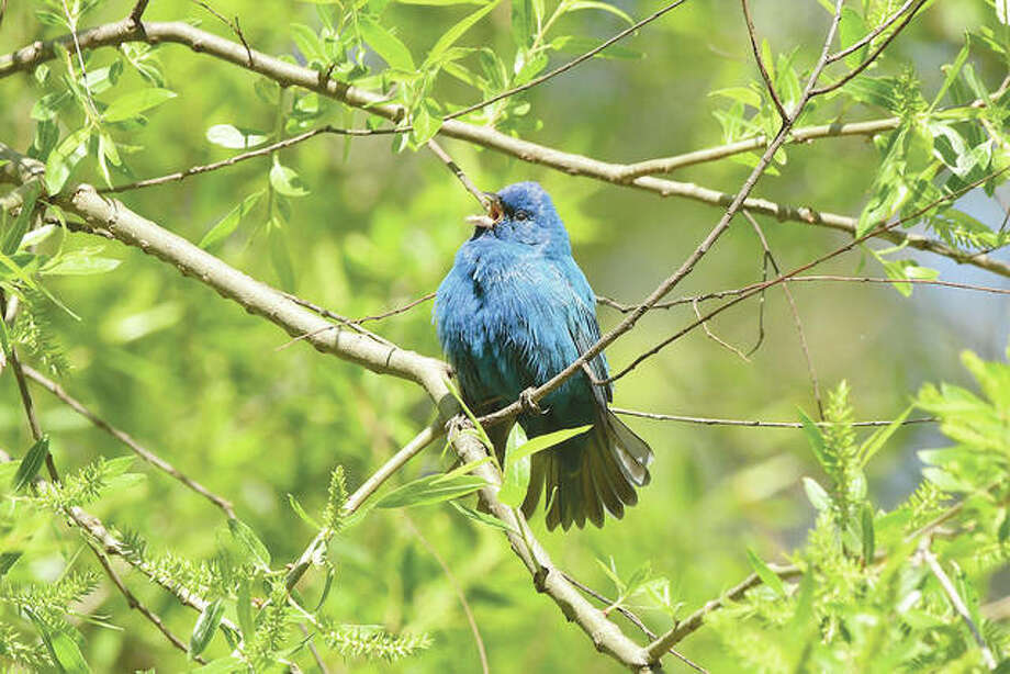 A singing indigo bunting hangs out in the sunshine near Waverly. Photo: Kathy Caruthers