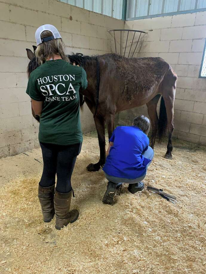 The skin-and-bone horse was found covered with manure and had severely overgrown hoof, among other health conditions. Photo: Houston SPCA