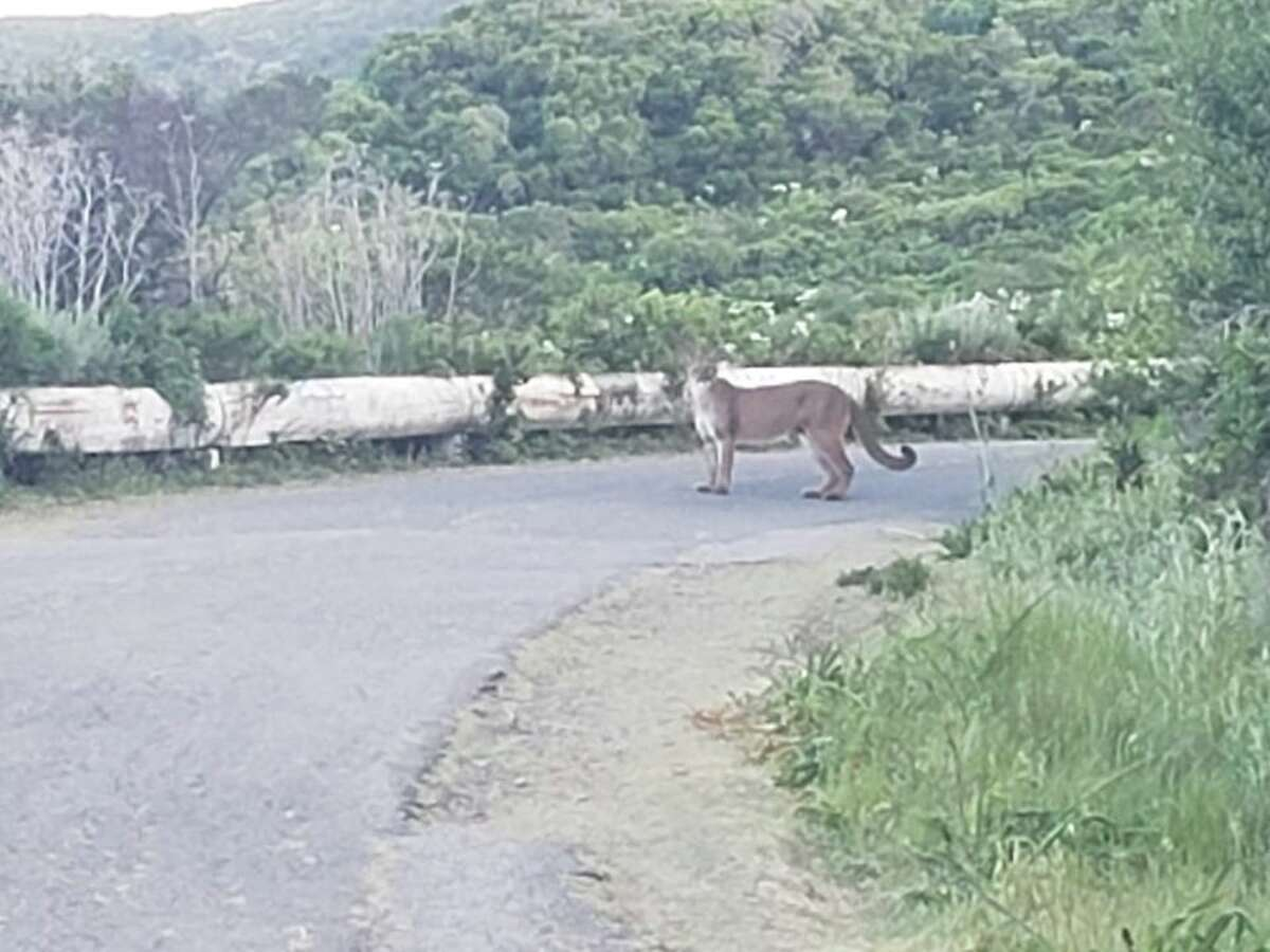 A mountain lion stares warily at a hiker who encountered it Thursday on the Sweeney Ridge Trail between Pacifica and San Bruno. The big cat was accompanied by a second cougar as it prowled along the trail.
