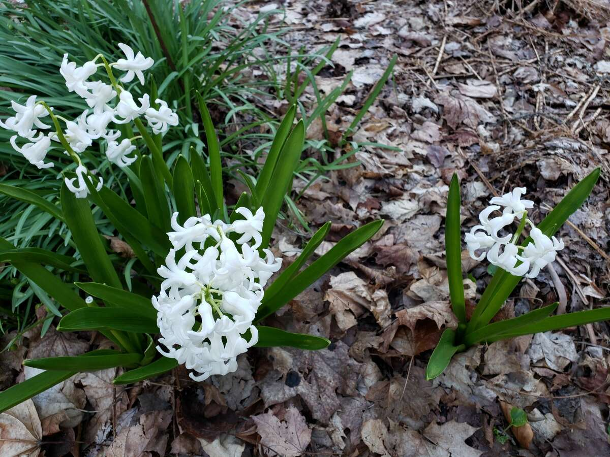 White hyacinth popped up at the Lake Bluff Bird Sanctuary on Lakeshore Road, Manistee