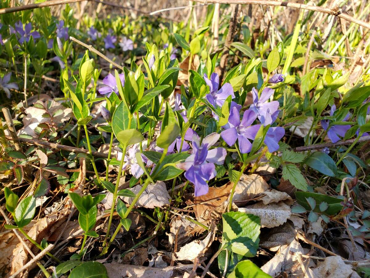 Glory of the Snow flower patches could be seen mixed with wild violets and trout lily at the Lake Bluff Bird Sanctuary on Lakeshore Road, Manistee.