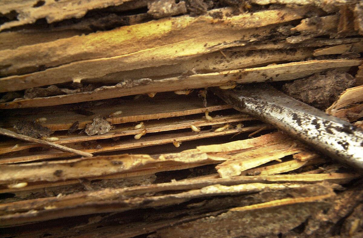 Formosan termites in a rail road tie.